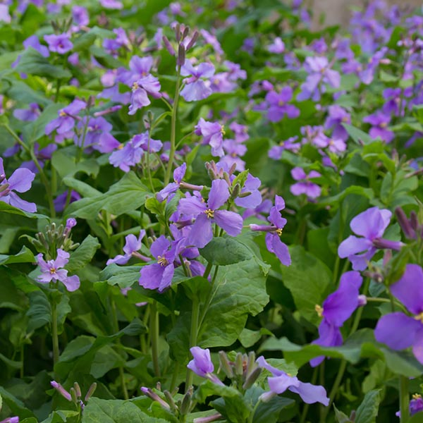 Flowing Chinese violet cress
