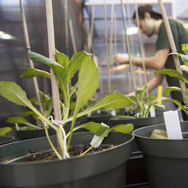 Potted research plants in a greenhouse
